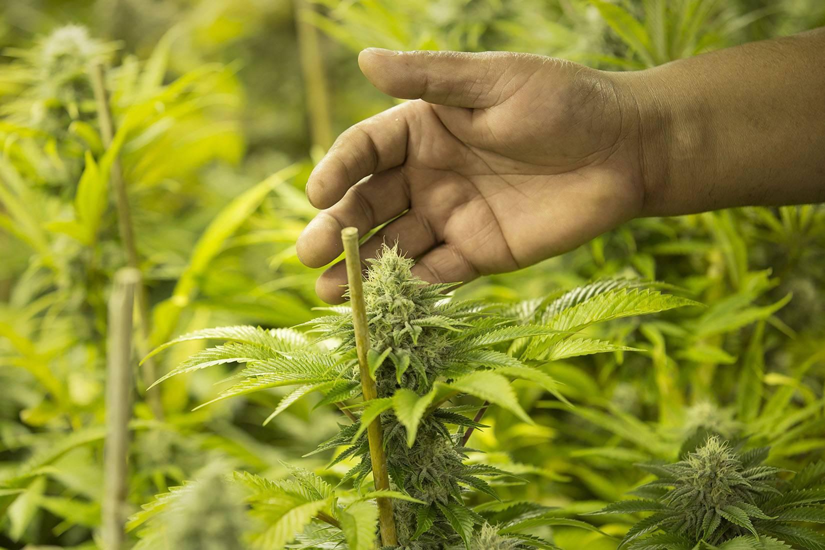 Marihuana Rekreacyjna, a Marihuana Lecznicza?, trawka24